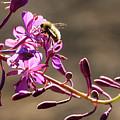 Bee On Lupine by Paul Conrad