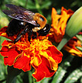 Bee On Marigold by William Selander