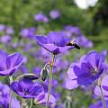 Bee On Perenial Geranium Rozanne by Julia Gavin