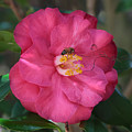 Bee On Pink Camellia by Carol Groenen