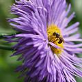 Bee On Purple Daisy by Smilin Eyes  Treasures