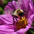 Bee On Purple Flower by Barbara Treaster