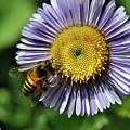 Bee On Purple Petals by Barbara Treaster