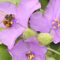 Bee On Purple Spiderwort by Sheila Brown