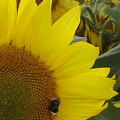 Bee On Sunflower 1 by Chandelle Hazen