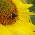 Bee On Sunflower 3 by Chandelle Hazen
