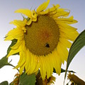 Bee On Sunflower 5 by Chandelle Hazen
