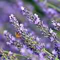 Bee On The Lavender by Kerri Farley