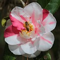 Bee On White And Pink Camellia by Carol Groenen