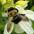 Bee On White by Sara  Raber