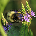 Bee On Wildflower by Barbara Treaster