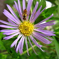 Bee On Wildflower by Melissa Parks