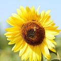 Bee On Yellow Sunflower by Miomir Magdevski