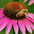 Bee Pollinating Echinacea by Jean Noren
