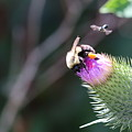 Bee Pollination by Maurio Francois