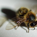 Bee Sitting On A White Sheet by Sami Sarkis