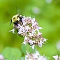 Bee Wings by Robert Skuja
