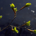 Beech Buds by Michael Mogensen