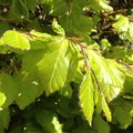 Beech Hedge In Spring by Wendy Davies