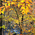 Beech Leaves Birch River by Thomas R Fletcher