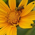 Bees Love Coreopsis by Shehla Khan