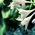 Bees Love Hastas by Susan Schumann