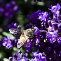 Bees Love Purple by David Patterson