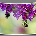 Bees On Butterfly Bush Framed by Geraldine Scull