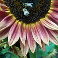 Bees On Sunflower 107 by Ken Day