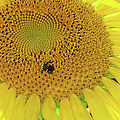 Bees Share A Sunflower by Sandi OReilly
