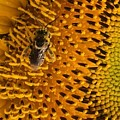 Bee's Sunflower by Sarah Avignone