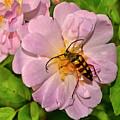 Beetle In A Rose 003 by George Bostian