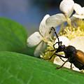 Beetle Preening by Douglas Barnett