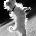 Begging Dog Black And White by Jill Reger