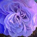 Begonia Bloom by Laura DeDonato