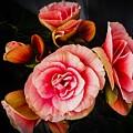 Begonia In Pink by Jennifer Kohler