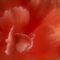 Begonia by Maria Boncheva