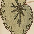 Begonia Marshallii  by English School