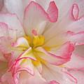 Begonia Pink Frills - Horizontal by Gill Billington