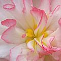 Begonia Pink Frills - Vertival by Gill Billington