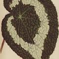 Begonia Rex by English School