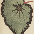 Begonia Rex, Variety Isis by English School
