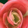 Begonia Rose by Ryan Kelly