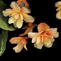 Begonias 2 by Janis Nussbaum Senungetuk