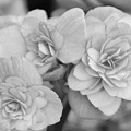 Begonias In Black And White by Olga Hamilton