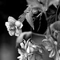Begonias by Pat Carosone