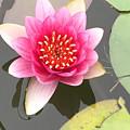 Beijing Lotus by Jennifer Lambert