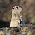 Belding Ground Squirrel by Gary Wing
