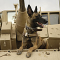Belgian Shepherd Malinois On Top Of Tank by Celestial Images