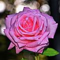 Belinda's Dream Rose 004 by George Bostian